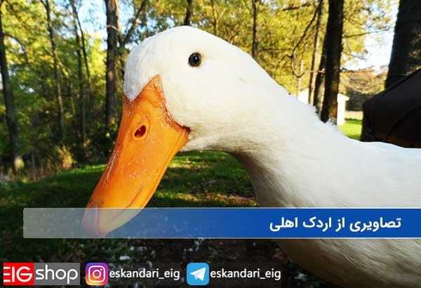 تصاویری از اردک اهلی
