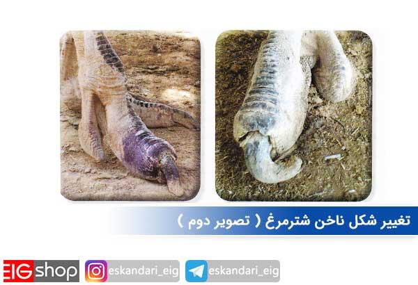 تغییر شکل ناخن شترمرغ ( تصویر دوم )
