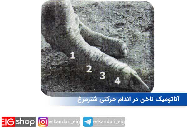 آناتومیک ناخن در اندام حرکتی شترمرغ