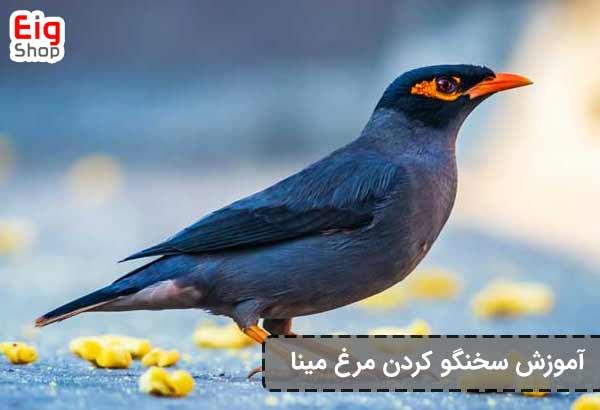 سخنگو کردن پرنده مینا