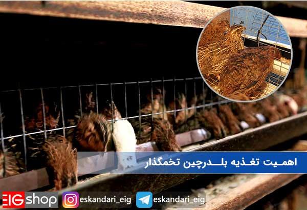 اهمیت تغذیه بلدرچین تخمگذار