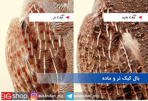 بال کبک نر و ماده