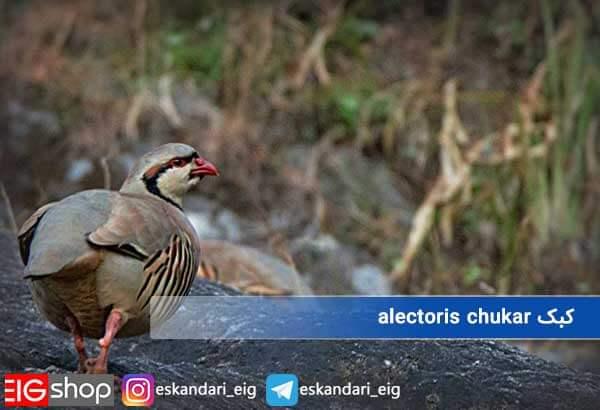 کبک alectoris chukar