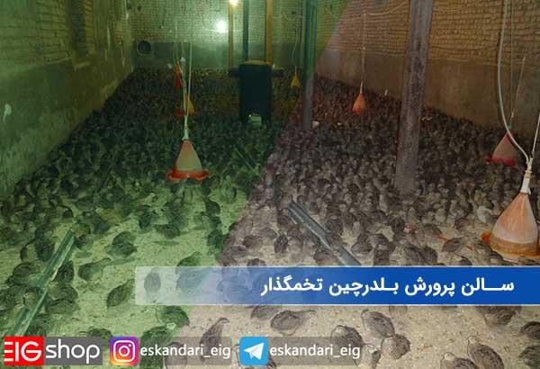 سالن پرورش بلدرچین تخمگذار