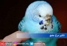 تکثیر-مرغ-عشق