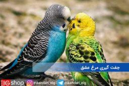 جفت-گیری-مرغ-عشق