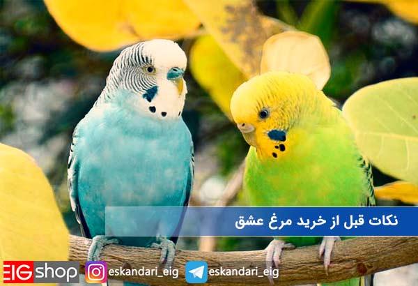 نکات پرورش مرغ عشق در خانه