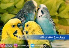 پرورش-مرغ-عشق