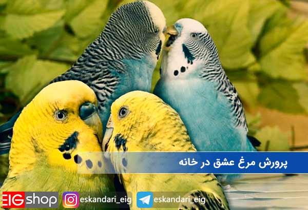 پرورش مرغ عشق در خانه
