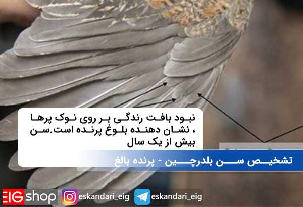 تشخیــص ســـن بلدرچـــین - پرنده بالغ