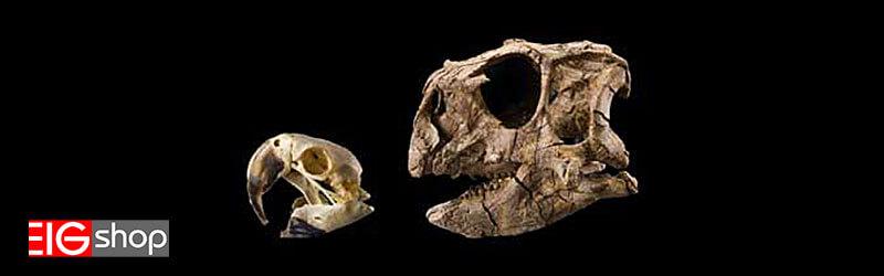 اسکلت طوطی هلندی و دایناسور