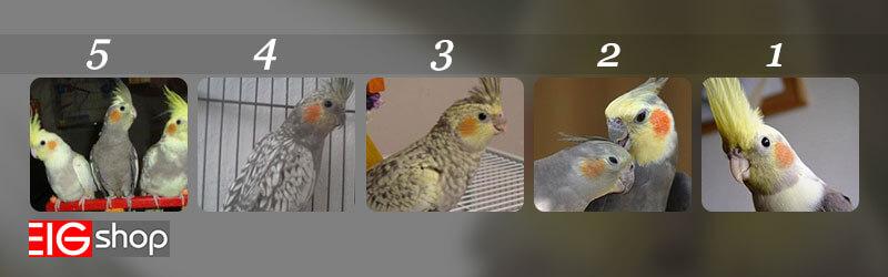 نژاد لوتینو و سایر نژاد های طوطی هلندی