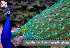 پرورش پرنده طاووس