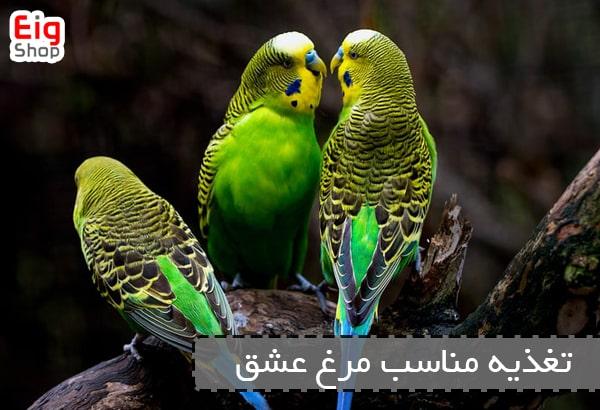 جفت گیری مرغ عشق و تغذیه مناسب آن