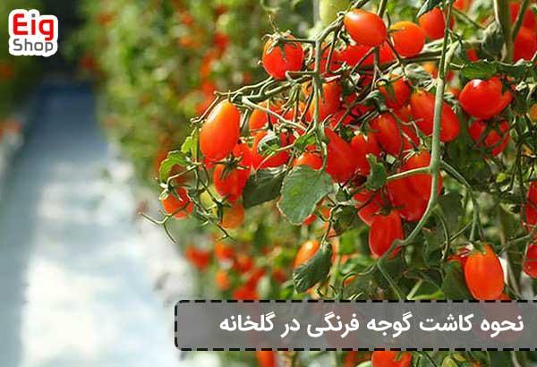 نحوه کاشت گوجه فرنگی در گلخانه