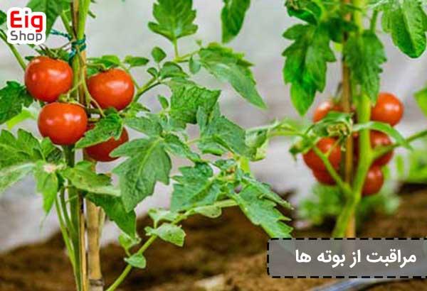 مراقبت از بوته های گوجه فرنگی
