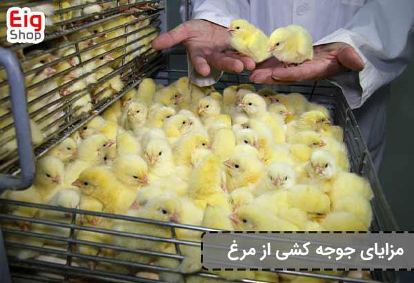 مزایای جوجه کشی از مرغ