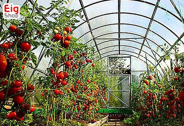 روش کاشت گوجه فرنگی در گلخانه