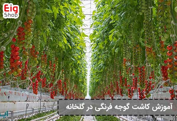 روش و نحوه کاشت گوجه فرنگی در گلخانه