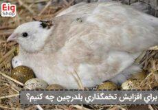 افزایش-تخم-گذاری-بلدرچین