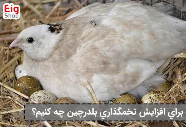 افزایش تخم گذاری بلدرچین