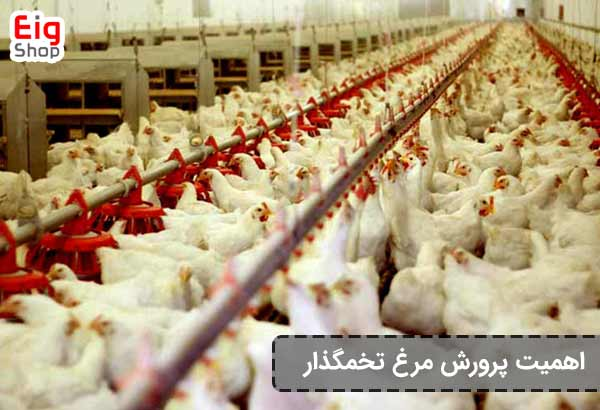 اهمیت پرورش مرغ تخمگذار - eig-shop