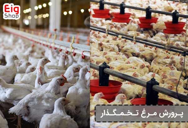 پرورش مرغ تخمگذار - فروشگاه اینترنتی eig-shop