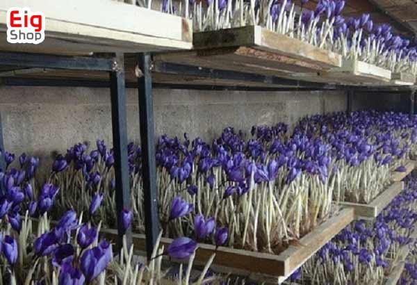 پرورش زعفران در گلخانه - فروشگاه اینترنتی eig-shop