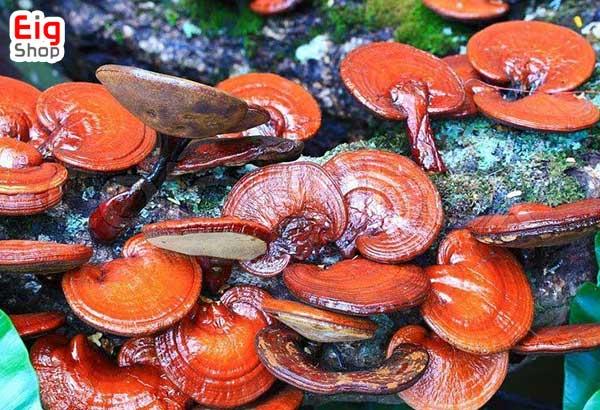 پرورش قارچ گانودرما - فروشگاه اینترنتی eig-shop