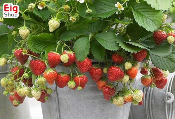 کاشت توت فرنگی در گلخانه-گروه صنعتی eig
