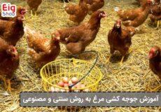 جوجه-کشی-از-مرغ