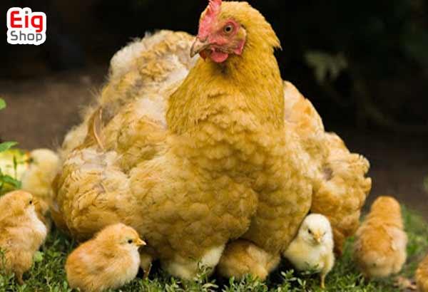 جوجه کشی طبیعی از مرغ - گروه صنعتی EIG