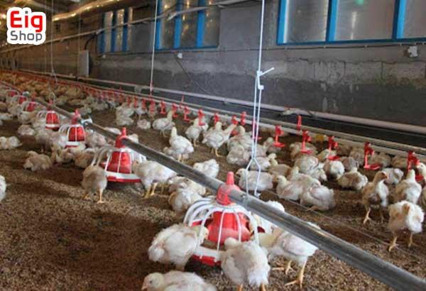 رطویت پرورش مرغ گوشتی - گروه صنعتی eig