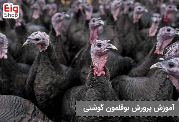 پرورش گوشت بوقلمون - گروه صنعتی EIg