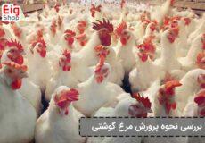 پرورش-مرغ-گوشتی