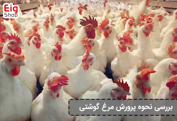 پرورش مرغ گوشتی - گروه صنعتی eig