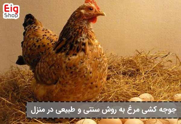 جوجه کشی طبیعی از مرغ در منزل-گروه صنعتی EIG