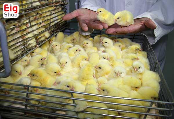 فرایند جوجه کشی از مرغ-فروشگاه اینترنتی eig-shop
