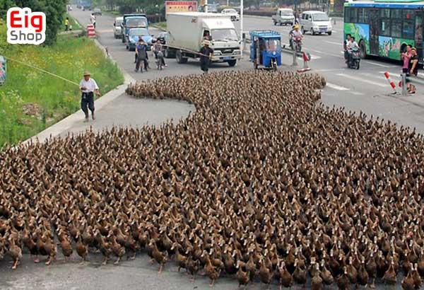 نحوه پرورش اردک-گروه صنعتی eig