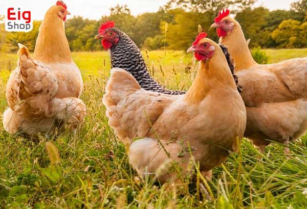 نکات مهم جوجه کشی از مرغ-گروه صنعتی EIG