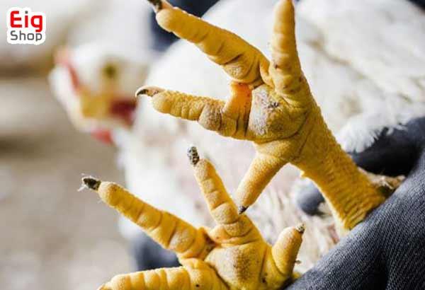 بیماری زخم پای مرغ-گروه صنعتی EIG