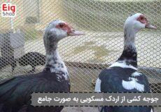 جوجه-کشی-از-اردک-مسکویی