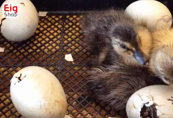 گله تخم گذار در پرورش غاز-گروه صنعتی eig
