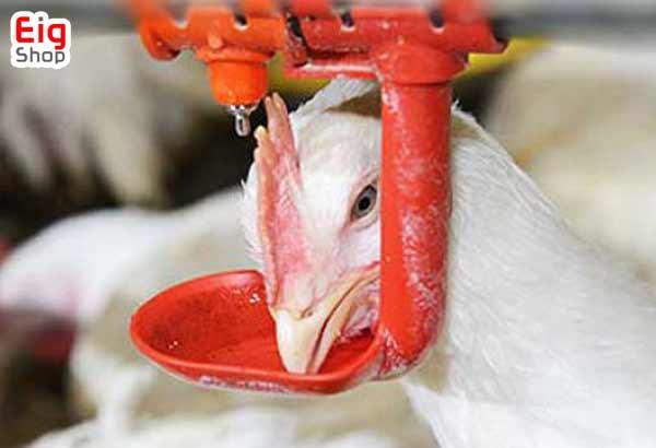 تاثیر آب در تخمگذاری مرغ-فروشگاه اینترنتی EIG-SHOP