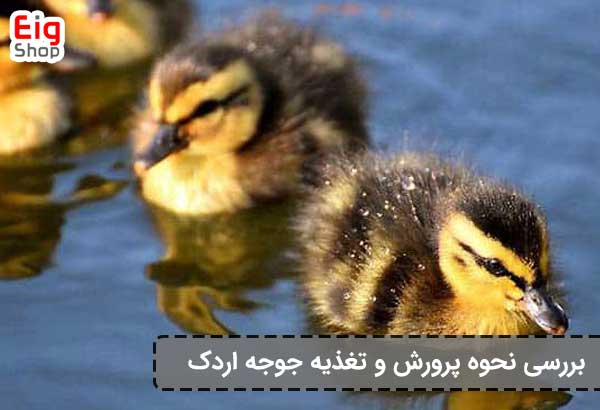 تغذیه جوجه اردک-گروه صنعتی eig