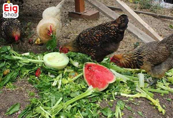 تغذیه مرغ تخمگذار-گروه صنعتی EIG