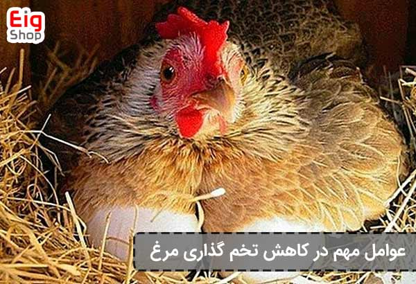 عوامل مهم در کاهش تخم گذاری مرغ-فروشگاه اینترنتی EIG-SHOP