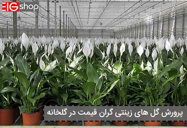 پرورش گل های زینتی گران قیمت در گلخانه - گروه صنعتی EIG