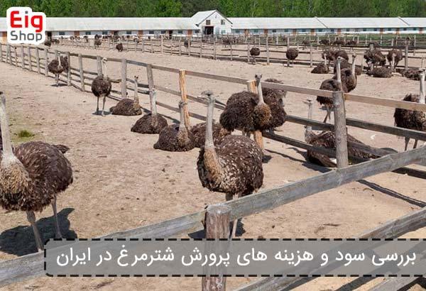 بررسی سود و هزینه های پرورش شترمرغ در ایران - فروشگاه اینترنتی eig shop