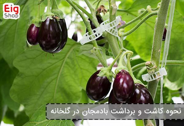 نحوه کاشت و برداشت بادمجان در گلخانه - فروشگاه اینترنتی eig shop